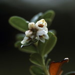 57-brusinka---kvet