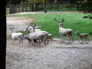 bili-jeleni-ve-vode-petra_301x225.jpg