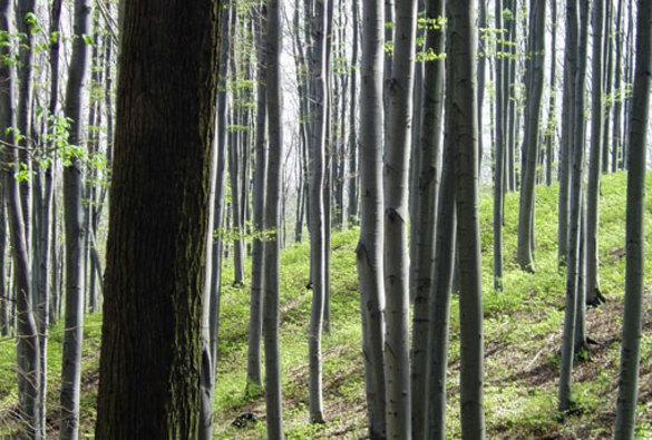 Obnova lesa vgenové základně Javorník