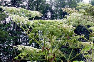 heracleum-mantegazzianum-30.jpg