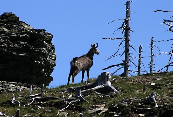 Kamzík horský