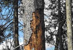 Lesy ČR se razantně pustily do boje shrozící kůrovcovou kalamitou