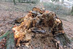UHrubé Skály se kácí nebezpečné stromy, lesníci obnoví arboretum