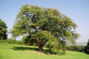 oskorusa-strom.jpg