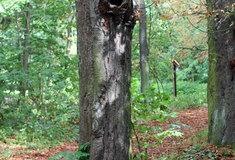 Stromy, které vlesích uSlatiňan ohrožují bezpečnost, se začnou vříjnu kácet