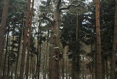 Lesníci ve středních Čechách letos ošetřili 11 památných stromů