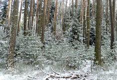 Lesy ČR opět chystají vánoční stromky dětem