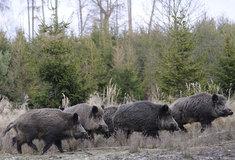 Ministr zemědělství: Všechna divoká prasata se budou moci střílet celoročně