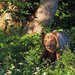 medvěd 1