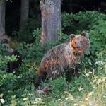 medvěd 2