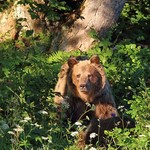 medvěd 6