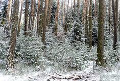 Lesníci dělají opatření proti zlodějům vánočních stromků ijmelí