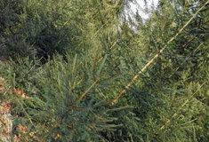Lesníci zdarma rozvážejí dětem 408 vánočních stromků