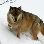 vlk-obecny-02