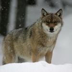 vlk-obecny-03