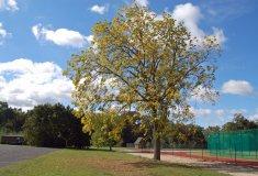 Ořešák černý – strom roku 2017