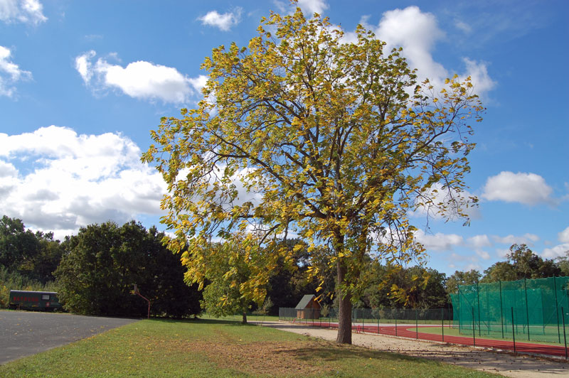 Solitérně rostoucí ořešáky vytváří pravidelné kulovité koruny. Ořešák má své místo i v parkových výsadbách a veřejné zeleni.