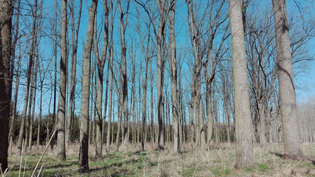 Ukázka porostu pěstovaného ořešáku černého na polesí Židlochovice v lokalitě Knížecí les.