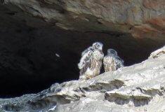 O víkendu pozorovali návštěvníci Teplického skalního města sokoly