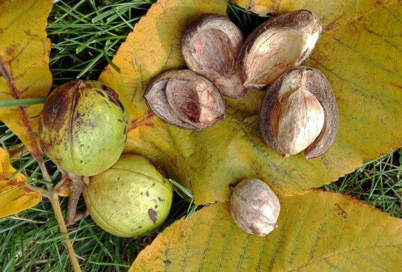Znáte ořechovec vejčitý?