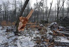 Lesy ČR zastavují ve státních lesích úmyslné těžby smrku a borovice, do odvolání se bude těžit jen kalamitní dříví