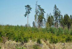 Sucho a výkyvy teplot lesům neprospívají,  lesníci vysazují dřeviny, které změně klimatu odolají