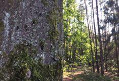 Lesy ČR vyhlásí lesnické tendry 2019+