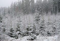 Lesy ČR dělají opatření proti zlodějům vánočních stromků