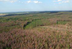 Borové lesy v Polabí usychají