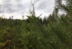"""""""Děkujeme za nabídku, potěšila,"""" vzkázali Lesům Vánoční stromky letos potěší děti ve 170 zařízeních"""