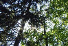 Dny za obnovu lesa se po dobu nouzového stavu nekonají