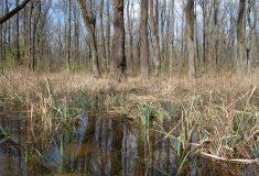Lesy ČR znovu zaplavují jihomoravské lužní lesy, letos už potřetí