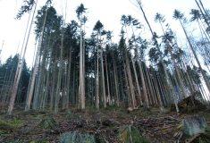 V bezzásahové části Boubína Lesy ČR nikdy nekácely a kácet nebudou