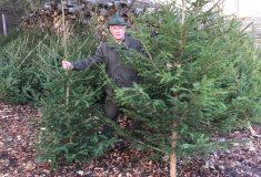 Lesy ČR chystají vánoční stromky do nemocnic